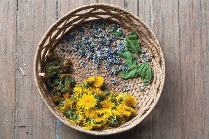 Picked dandelion flowers and herbs for teas and tinctures