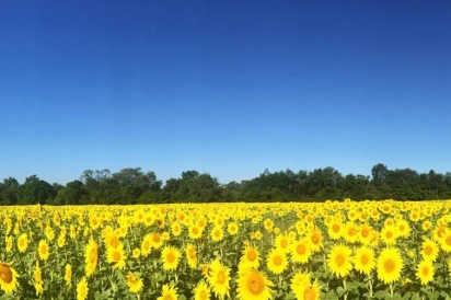 The sunflower field at Arrowood Farms in Accord, New York.