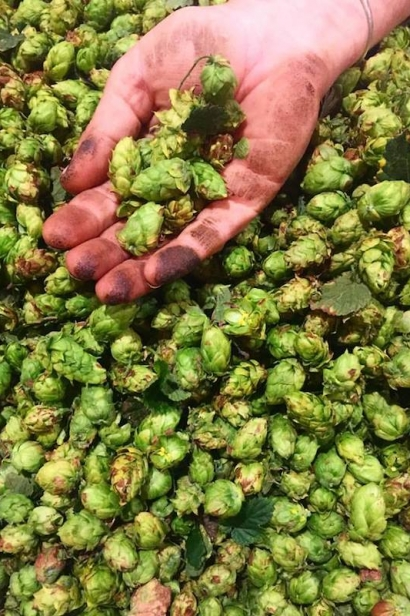 Hops harvested at Arrowood Farms in Accord, New York.