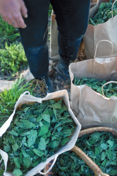 Stinging nettles bagged and waiting