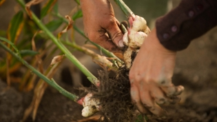Hector Tejada pulls fresh ginger from the unlikely soil of New Paltz, New York.